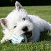 Download Highland White Terrier Jigsaw 1.0 APK