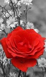 Download Red Rose Live Wallpaper 7 6 Apk Downloadapk Net